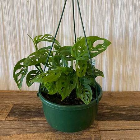 Swiss Cheese Plant - Hanging Basket